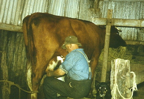 Milking was a daily chore