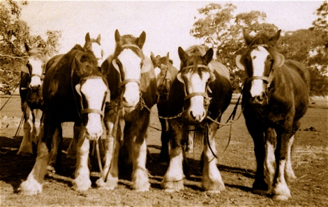 Weaver's horse team, photo by almewett